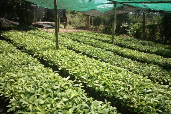 coffee-nursery-bed-b23840C30-B4F2-1D42-825D-7500A5F7282D.jpg